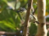Yellow fronted Tinkerbird - Geelstuitketellapper - Pogoniulus bilineatus