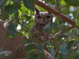 Vermiculated Eagle-Owl - Grijze Oehoe - Bubo cinerascens