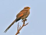 Yellow-billed Shrike - Geelsnavel Klauwier - Corvinella corvina