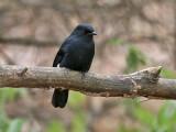 Northern Black Flycatcher - Senegalese Drongovliegenvanger - Melaenornis edolioides