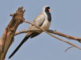 Namaqua Dove - Maskerduif - Oena capensis