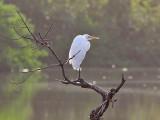 Great White Egret - Grote Zilverreiger - Agretta alba