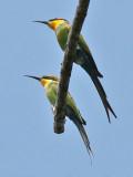 Swallow-tailed Bea-eater - Zwaluwstaart Bijeneter -  Meropshirundineus