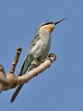 Blue-cheeked Bee-eater - Groene Bijeneter - Merops persicus