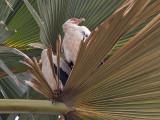 Palmnut Vulture - Palmgier - Gypohierax angolensis