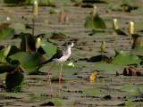 Black-winged Stilt - Steltkluut - Himantopis himantopus