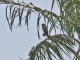 Grey Kestrel - Grijze Torenvalk - Falco ardosiaceus