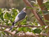 Shikra - Shikra - Accipiter badius