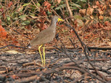Wattled Plover - Lelkievit - Vanellus senegallus