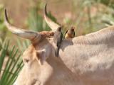 Yellow-billed Oxpecker - Geelsnavelossenpikker - Buphagus africanus