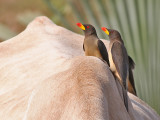 Yellow billed Oxpecker - Geelsnavelossenpikker - Buphagus africanus