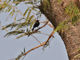 White-fronted Black Chat - Myrmecocichla albifrons - Witkapmiertapuit
