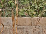 Black-crowned Tchagra - Zwartkruintstjagra - Tchagra senegala