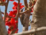 Brown-backed Woodpecker - Bruinrugspecht -  Picoides obsoletus
