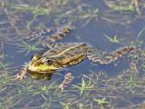 Groene Kikker - Green Frog - Rana esculata