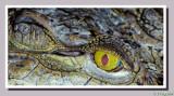 The eye of the crocodile.JPG