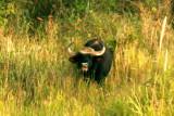 Meeting the wild Gaur