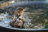 House Sparrow Bathing