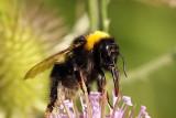 Bumblebee  Bombus lucorum