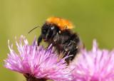 Bumblebee  Bombus hypnorum