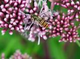 Hoverfly  Episyrphus balteatus