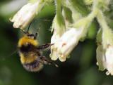 Bumblebee  Bombus Pratorum