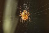 Young Garden Spider