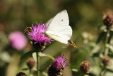 Small White and Hoverflies