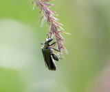 Bettle Oedemera Nobilis