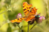 Comma and Bluebottle