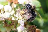 Bee Melecta albifrons