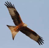Red Kite in your Face