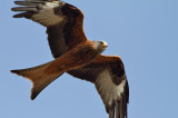 Red Kite up Close