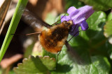 Bee Fly on Ground Ivy
