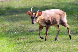 Muntjac Deer Young Male