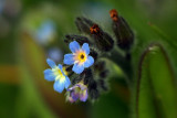 Field forget-me--not
