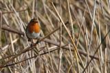 Robin on Reeds