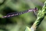 Immature Common Blue Female