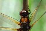 Immature Male Scarce Chaser