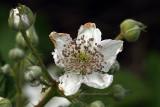 Bramble White Flower