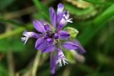 Heath Milkwort