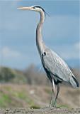 Great Blue Heron - male in breeding plummage