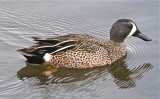 Blue Wing Teal (male)