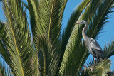 Great Blue Heron in palm tree