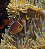 Clownfish, anenome fish, aka Nemo