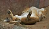 Female Lion zonked