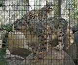 Snow Leopard (cubs)
