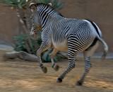Grevys Zebra (spirited)