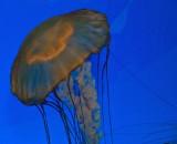 West coast sea nettle