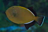 Indian or black-finned Triggerfish